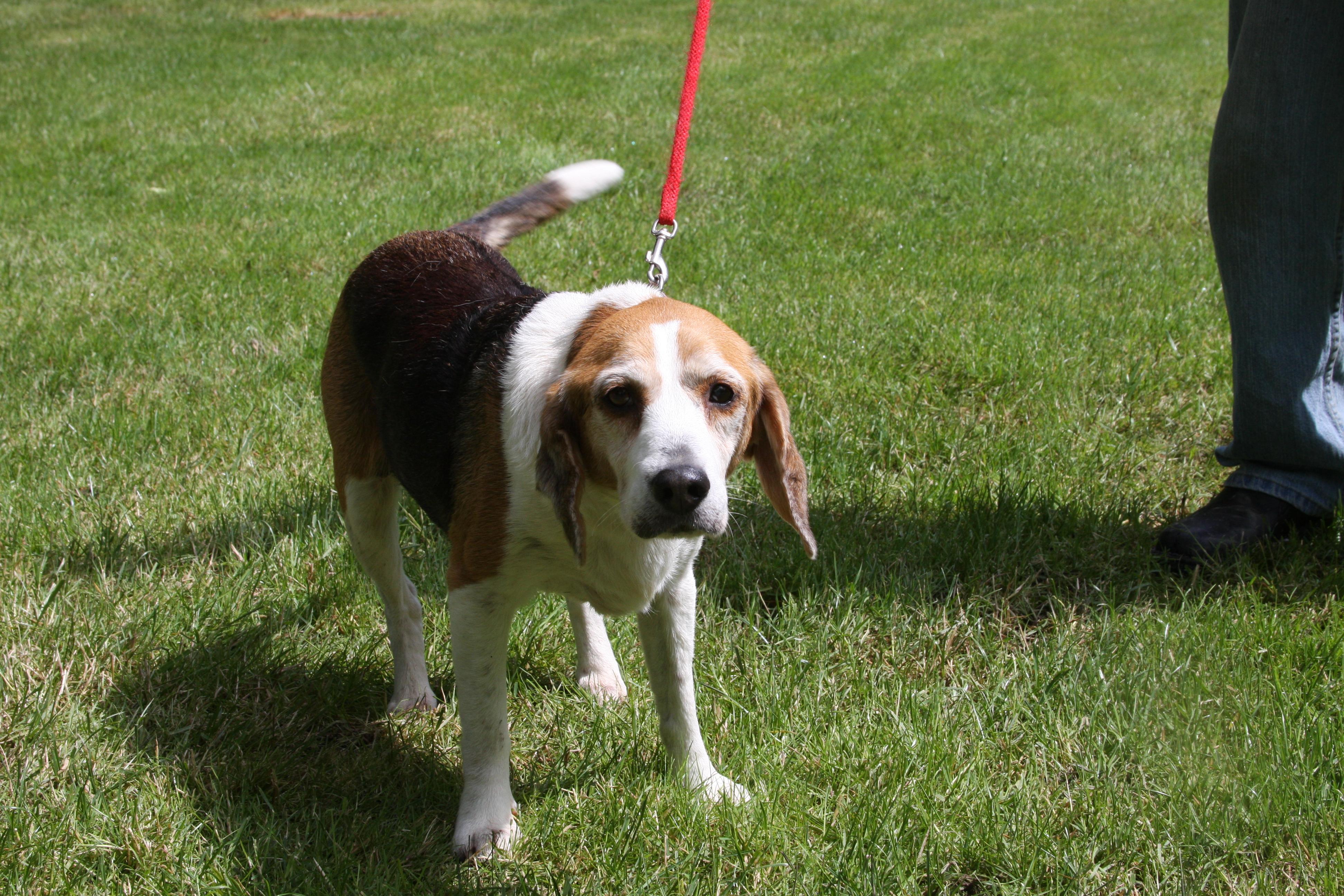 Beagle Dog Food Allergies