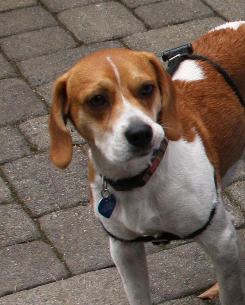 Dakota-2 – ADOPTED | Cascade Beagle Rescue