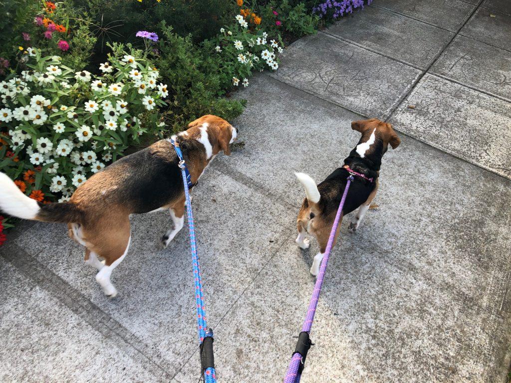 Available Beagles Cascade Beagle Rescue